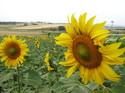 Antoniossunflowers_2