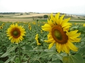 Val_sunflower_img_0783